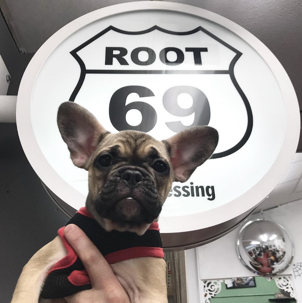 French bulldog puppy held in front of sign that reads Root 69.